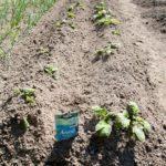 Random image: Freshly Hilled Potatoes