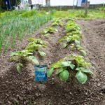 Random image: Potatoes, Second Hilling