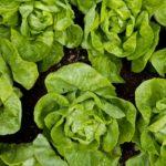 Random image: Lettuce Heads