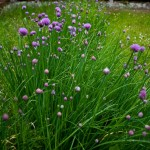 Random image: Flowering Chives