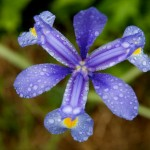 Louisiana Iris, After a Spring Rain