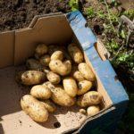 Random image: Freshly Dug Potatoes