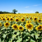 Random image: Sunflower Fields