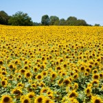 Random image: Sunflower Fields