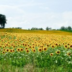 Random image: Sunflower Field