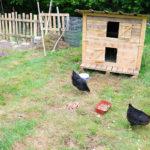 Random image: Chicken Yard