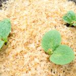 Random image: Tiny Pumpkin Seedlings