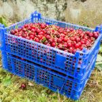 Random image: Caises of Cherries