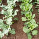 Random image: Brassicas (Cabbages)