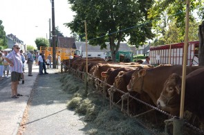 Limousin Cattle on Market Square