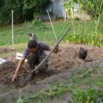Random image: Filou Helping with Potato Harvest