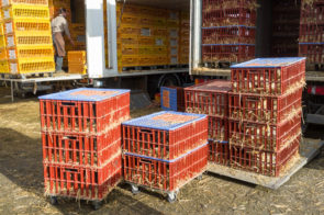 Caged poultry being unloaded