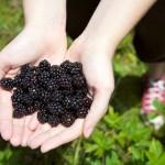 Random image: Ripe Blackberries