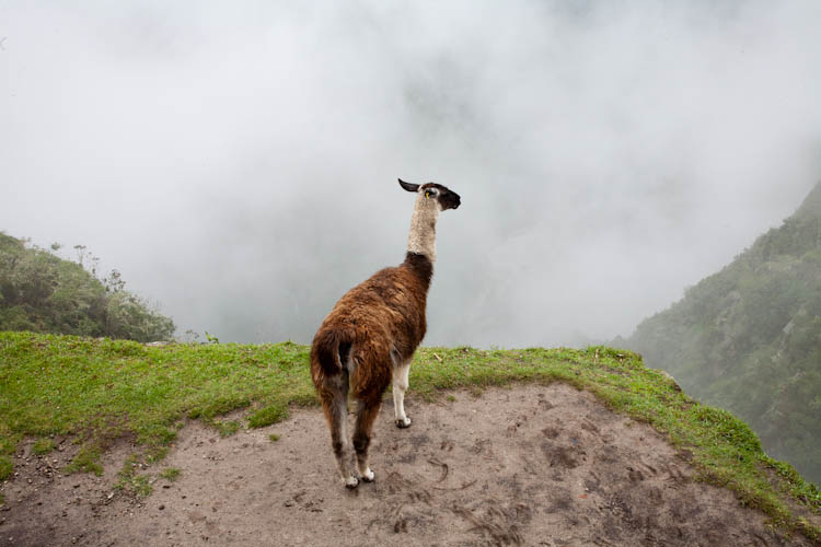 Llama Contemplating the Abyss