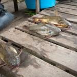 Random image: Strange Jungle Fish!