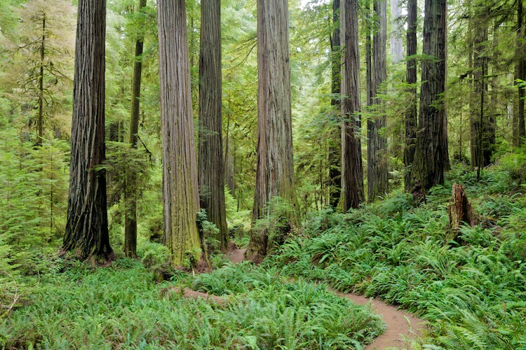 Redwood Forest, Redwood National Park