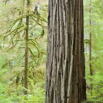 Forest Textures, Redwood National Park