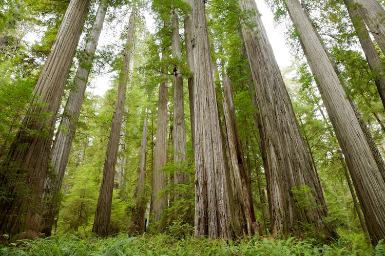 Tall Giants, Redwood National Park