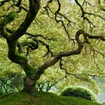 Random image: Japanese Maple