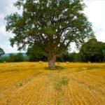 Random image: Old Oak