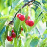 Random image: Cherries on the Tree