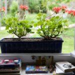 Random image: Geraniums, Tyler
