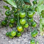Random image: Shiny Green Cherry Tomatoes