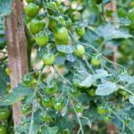 Random image: Green Cherry Tomatoes