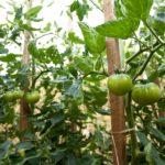 Random image: Green Tomatoes
