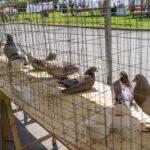 Random image: Pigeons