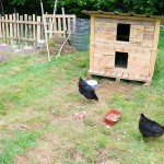 Random image: Chicken Yard