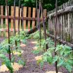 Random image: Tomato Plants