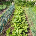 Random image: Leeks, Carrots, Turnips, Beets, and Onions