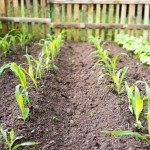 Random image: Baby Corn Seedlings