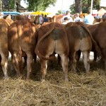 Random image: Beautiful Limousin Pedigree