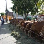 Random image: Limousin Cattle on Market Square