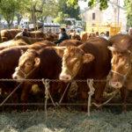 Random image: Limousin Cattle