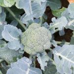 Random image: Broccoli