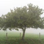 Random image: Apple Tree in the Fog