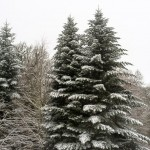 Random image: Beautiful Evergreens