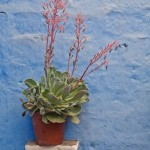Random image: Flower Pot on Blue Wall