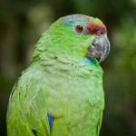Random image: Parakeet