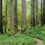 Random image: Redwood Forest